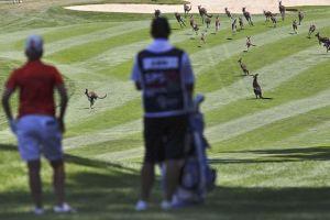 Kangaroos at Women's Open